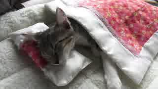 お布団で( ˘ω˘)スヤァな子猫