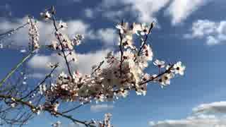 やっぱり桜!!@舛岡理紗