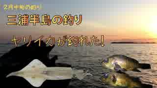 釣ったヤリイカをイカ刺しでいただきます。