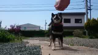 [柴犬]ボール遊び