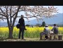 藤原宮跡の桜と菜の花