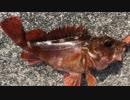 釣り動画ロマンを求めて 145釣目(湯河原海浜公園)