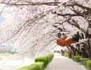 モーレスター桜