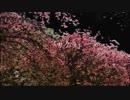 【オーケストラ】サクラ/藤田麻衣子【アレンジ】