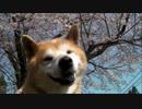 【柴犬ジロー】 柴犬ラン
