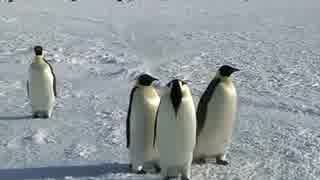 南極で出会った可愛い皇帝(コウテイ)ペンギン