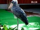 掛川花鳥園の思い出  ハシビロコウさん 捕食から帰宅まで 来週は(静岡)あさひテレビのしょんないTVで特集されます。