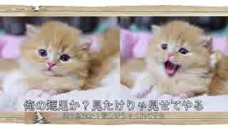 【猫アニソン】ONE PIECE ウィーアー!【マンチカンズ】