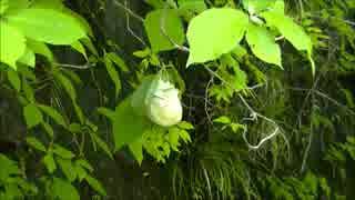 房総 林道脇のモリアオガエル卵
