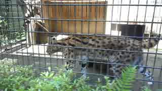20180515 羽村市動物公園のサーバル(タカ)