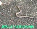 野生の生き物たち 朝の散歩でマムシの出迎え・・・・鮎川