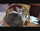 カゴでまったりする子猫