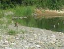野生の生き物たち 川原のキツネと川中のカルガモ・・・・鮎川