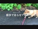 散歩で老犬を走らせてみた。