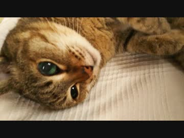 便秘マッサージがまんざらでもない猫