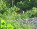 野生の生き物たち 川原を散歩するシカの夫婦・・・・鮎川