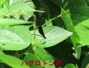 昆虫シリーズ 神様の使い*カミサマトンボ