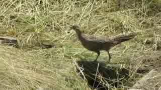 野鳥シリーズ 草刈で巣をなくしたメスの