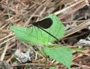 昆虫シリーズ 神に仕える神聖な生き物カミサマトンボ
