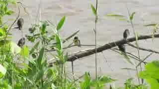 野鳥シリーズ ツバメの学校*濁流を見つ