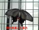 昆虫シリーズ 幸運を呼ぶ神秘な蝶*クロアゲハ