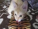 ティッシュボックスに入りたくてたまらない子猫