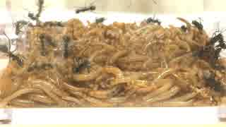 アリに100匹のミルワームを与えてみたら、アリが素潜りし始めた。