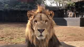 パンクなモヒカンのライオン君