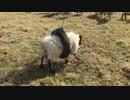 タイヤにハマっちゃった羊