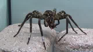 [閲覧注意!!] 再編集 ハシリグモにゴキブリを食べさせてみた。(Dolomedes yawatai)