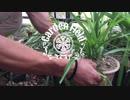 【庭の雑草を盆栽にする方法】#10。 庭の雑草を盆栽にした結...