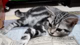 【アメショ】やっぱり読書の邪魔をしてく