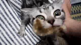 【アメショ】猫じゃらしにすごい形相で食
