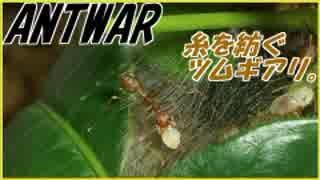 貴重映像?ツムギアリが糸を紡いで巣を作る!