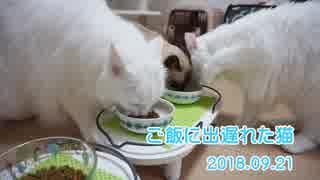 【HR299】ご飯に出遅れた猫