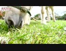 音に注目! 超接近 ポニー 癒し系 草を食む 館ヶ森アーク牧場