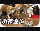 秋田犬の軍団が焼肉屋をジャック?こんなお店見たことない!超レア映像!