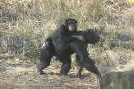 素晴らしきチンパンジー達(多摩動物公園)