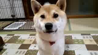 【柴犬】犬語でお願いします