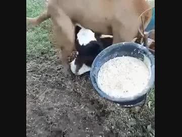 仔牛にイかされる犬