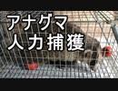 【狩猟】アナグマ人力捕獲からの… 新米猟師のハンターライフ