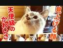猫の表情で一番かわいいのは見上げる顔だということをこの動画で証明します