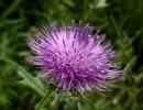 ノアザミ(野薊)の花粉