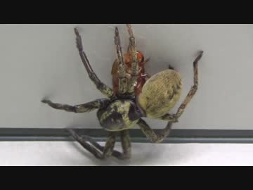 [閲覧注意!!]  再編集 カマスグモにゴキブリを与えてみた。(Thelcticopis severa)