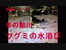 野鳥シリーズ 冬の鮎川 ツグミの水浴び