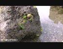 ある日の桜島(その123)<赤十字病院の目の前の浜辺の生き物など>