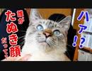 かわいさを自覚している猫がかわいすぎる顔をカメラに見せつけるので、一瞬見せたたぬき顔をサムネにしてやりました