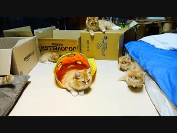 【マンチカンズ】子猫のピンチを救うママねこ!