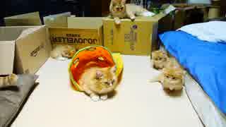 【マンチカンズ】子猫のピンチを救うママ