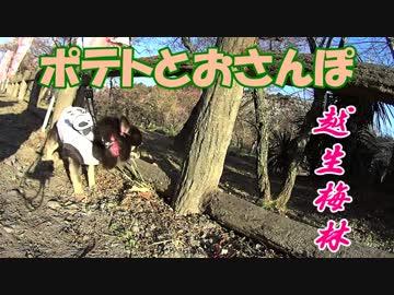 ポテトとおさんぽin越生梅林2019【地元地域旅】